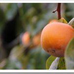 貰った柿よりも、腕を伸ばして捥いだ柿の方が美味しい。