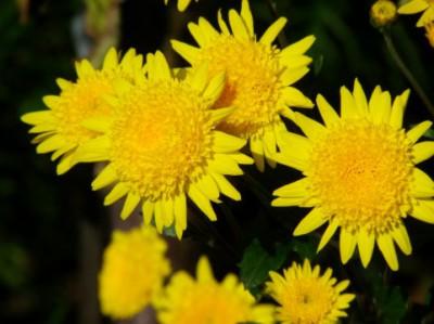 smileflower